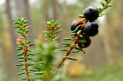 Crowberries in autumn Stock Image
