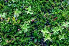 Crowberries e corniso foto de stock