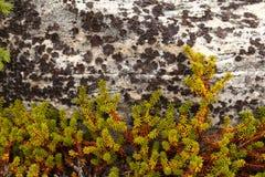 crowberry πέτρα empetrum Στοκ εικόνες με δικαίωμα ελεύθερης χρήσης