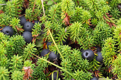 Crowberry Stock Photo