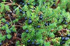 Crowberry Royaltyfria Bilder