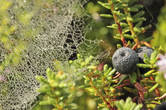 Crowberry Lizenzfreies Stockfoto