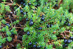 Crowberry Royalty Free Stock Images