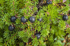Crowberry bush stock images