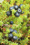 Crowberry (Empetrum) Stock Image