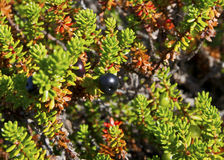 Crowberry (Empetrum) Arkivfoton