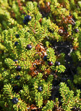 Crowberry (Empetrum) Arkivbilder