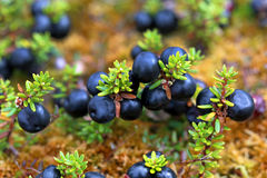Crowberry Stock Photos