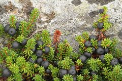 Crowberry Empetrum nigrum Stockbilder