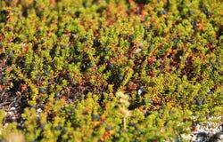 Crowberry en la tundra Foto de archivo