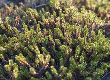 Crowberry plants, close-up Stock Photos