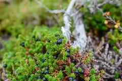 Crowberry preto pequeno em uma natureza norte da floresta da tundra imagens de stock royalty free