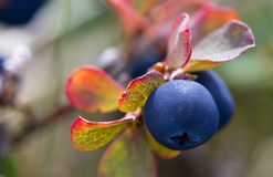 Crowberry salvaje Imagenes de archivo
