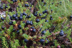 Crowberry. Small bushes of crowberry, Russia Stock Photography