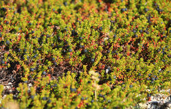 Crowberry in the tundra. North Stock Photo