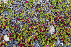 Crowberry Stock Photography