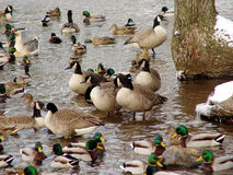 The In Crowd. A group within the group of Canada Geese stock photography