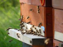 Bees Flying In and Out of the Bee Hive. Crowd of bees flying in and out of the bee hive Stock Photo