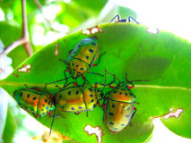 Crowd of beetles on a leaf. Brilliantly colored crowd of iridescent green beetles with red legs all eating an emerald colored leaf Royalty Free Stock Photos