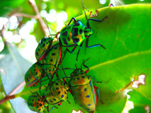 Crowd of beetles on a leaf. Brilliantly colored crowd of iridescent green beetles with red legs all eating an emerald colored leaf Stock Photo