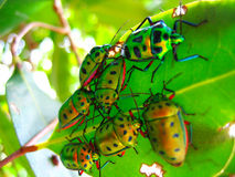 Crowd of beetles on a leaf Stock Image