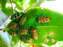 Crowd of beetles on a leaf Royalty Free Stock Image