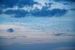 Crowd of birds Royalty Free Stock Images