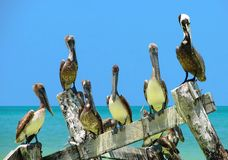 Crowd of Brown Pelicans perched on an old peer Royalty Free Stock Images