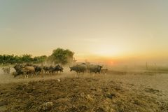 Crowd of buffalo with sunset or sunrise. Background Stock Photography