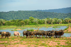 Crowd of Buffalos Stock Images