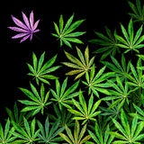 Crowd of Cannabis leaves on black background Royalty Free Stock Images