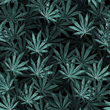 Crowd of Cannabis leaves on black background royalty free illustration
