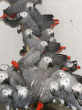Crowd of confiscated African grey parrots (Psittacus erithacus) Royalty Free Stock Photos