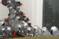 Crowd of confiscated African grey parrots (Psittacus erithacus) Stock Images