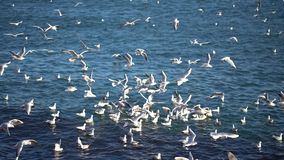 Crowd of seagulls on water. The crowd of continuously shouting seagulls landing on water and flies up from a water surface stock video