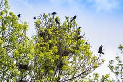 Crowd crows nest on tree in Serbia stock images