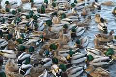 A crowd of ducks floating on the water. royalty free stock images