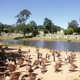 Crowd of Ducks stock images
