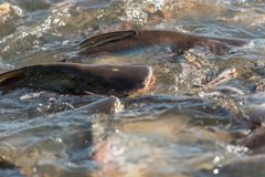 Crowd of freshwater fish scramble food in river. Crowd of many freshwater fish hungry such as catfish, snakehead fish, snake fish and other scramble for eat a Royalty Free Stock Photos