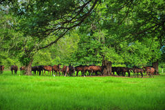 Crowd of Horses. Royalty Free Stock Image