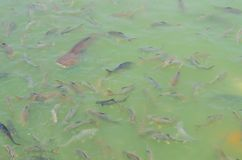Crowd of many different fish eating feed in lake. Many different fish eating feed in lake at cave fish in wat Pratartmaejedee Royalty Free Stock Image