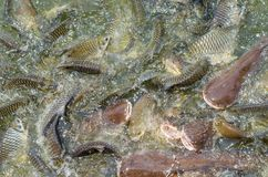 Crowd of many different fish eating feed in lake. Many different fish eating feed in lake at cave fish in wat Pratartmaejedee Stock Photos