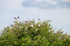 The crowd of pelicans perched on treetops. The crowd of pelicans perched on the treetops stock photos