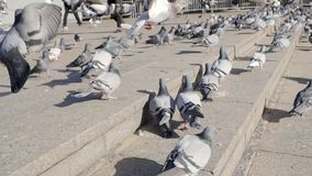 Crowd of pigeon on the walking street in Bangkok, Thailand. Stock. Group of pigeons fight over for food, many struggle. Pigeons near temple in Thailand stock footage