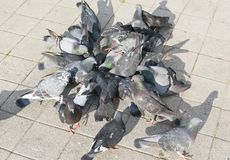 Crowd of pigeon on the walking street stock photography