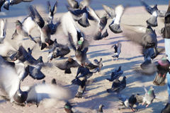 Crowd of pigeons fly off in search of food abstract Royalty Free Stock Photo