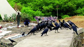 Crowd of Ravens on White Monument Wall in Mumbai, India (warm look) stock video footage