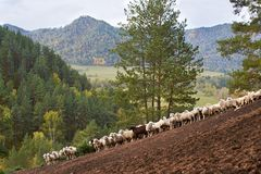 Crowd of sheep in Altai mountains in autumn. Brown, white and green. Sheeps in Altai mountains in autumn. Brown, white and green Royalty Free Stock Photo