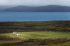 Crowd of sheep on green field with Atlantic sea and mountain range background Royalty Free Stock Images