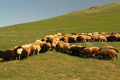 Crowd of Sheeps. Are grazing in green meadow Royalty Free Stock Image